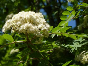 Mountain Ash Blooming